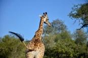 Giraffe at private game park outside Kruger