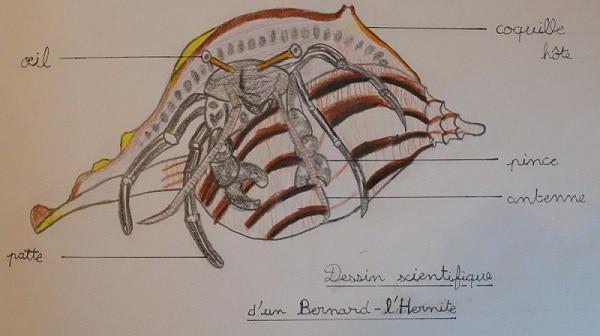 Dessin scientifique d'un bernard-l'hermite par Nathan (CM1)