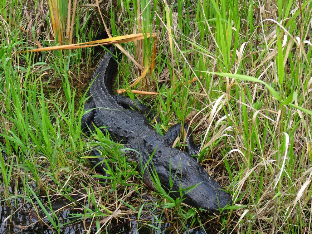 Tapis au milieu des herbes, l'alligator de Floride