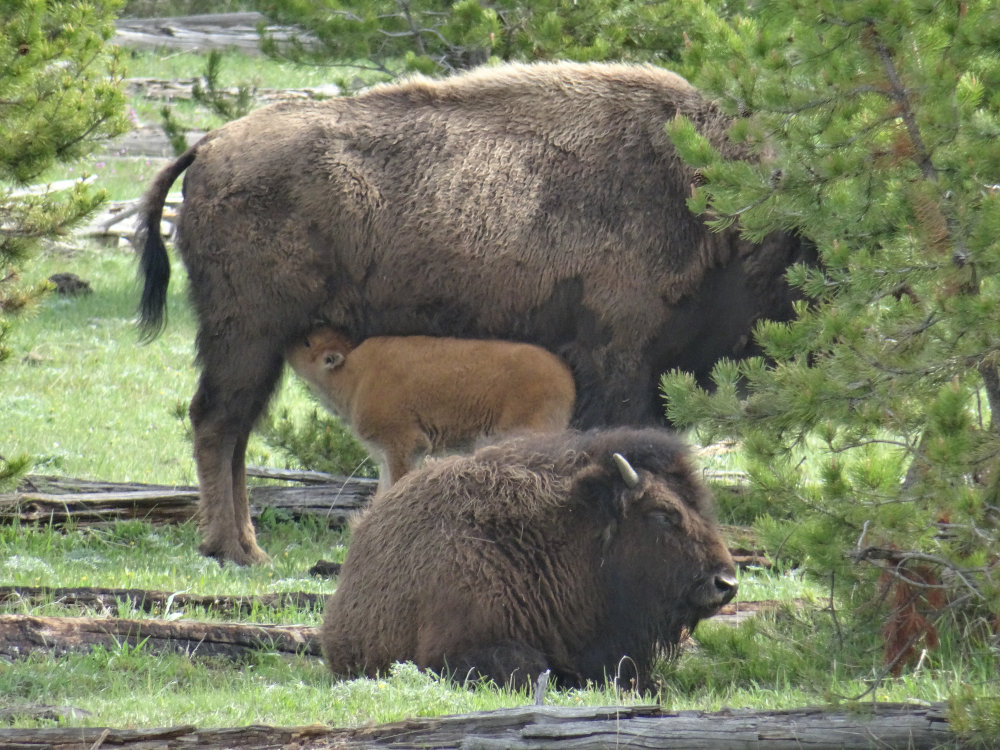 136_yellowstone_faune