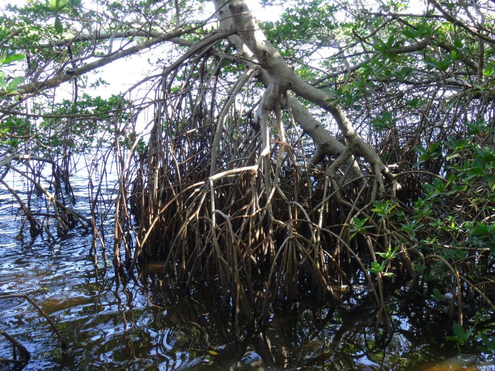 Les racines des palétuviers, typiques de la mangrove