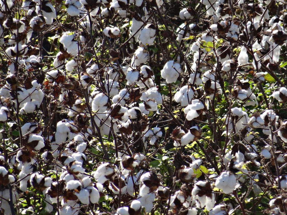 Gros plan sur le coton