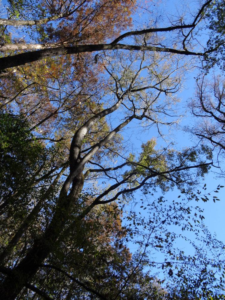 Les immenses cyprès chauves du Congaree National Park