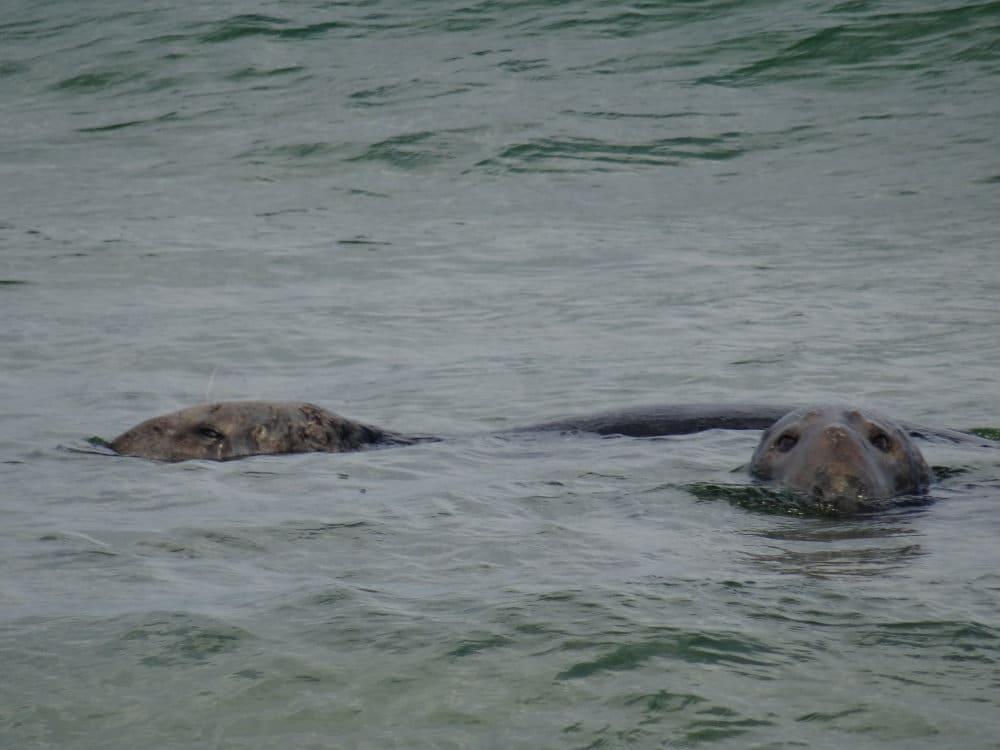 Les phoques gris de Cape Cod