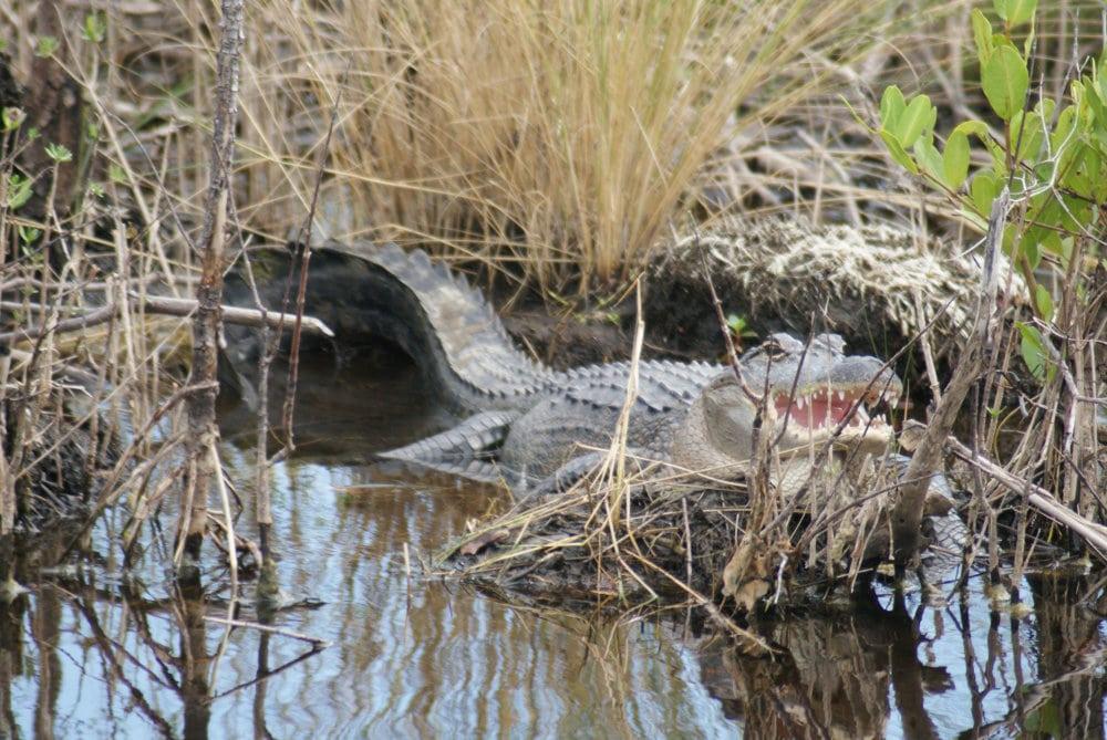L'alligator de Floride