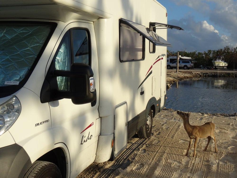 Un curieux visiteur au camping sur Big Pine Key