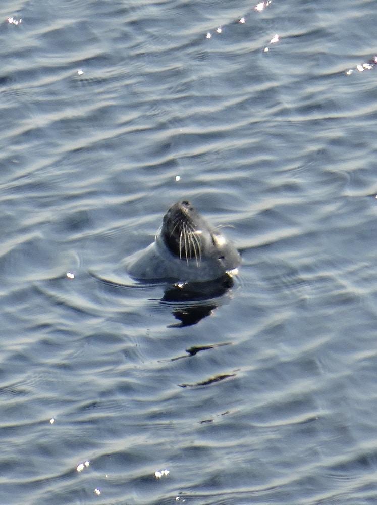 Un phoque à Forillon