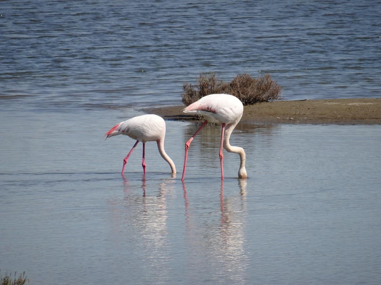 Les flamants roses aux salins d'Aigues-Mortes