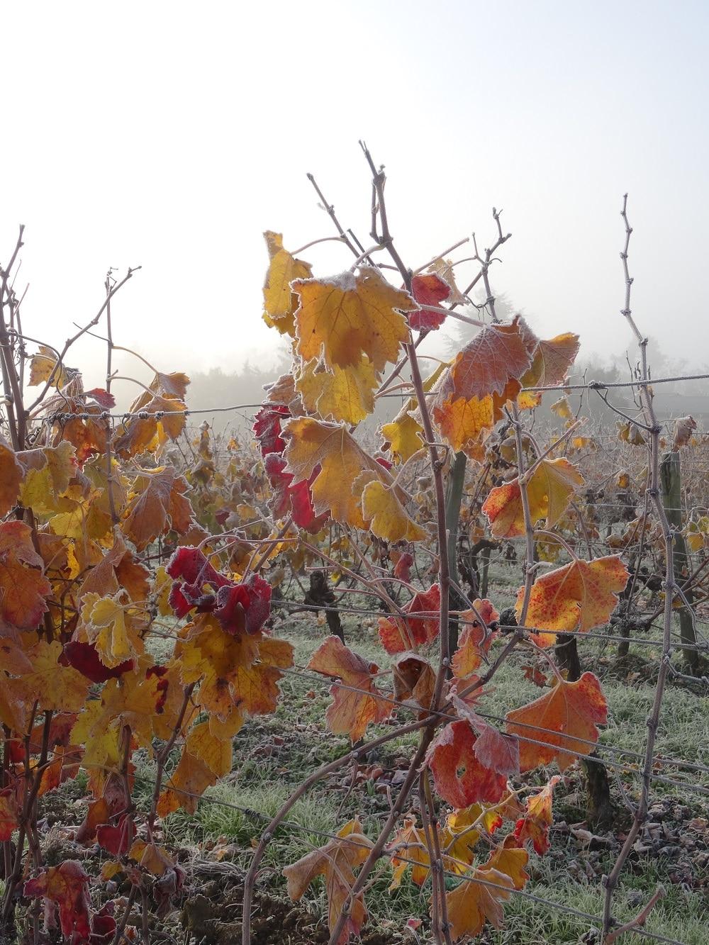 Premières gelées sur feuilles d'automne dans l'Entre-deux-Mers