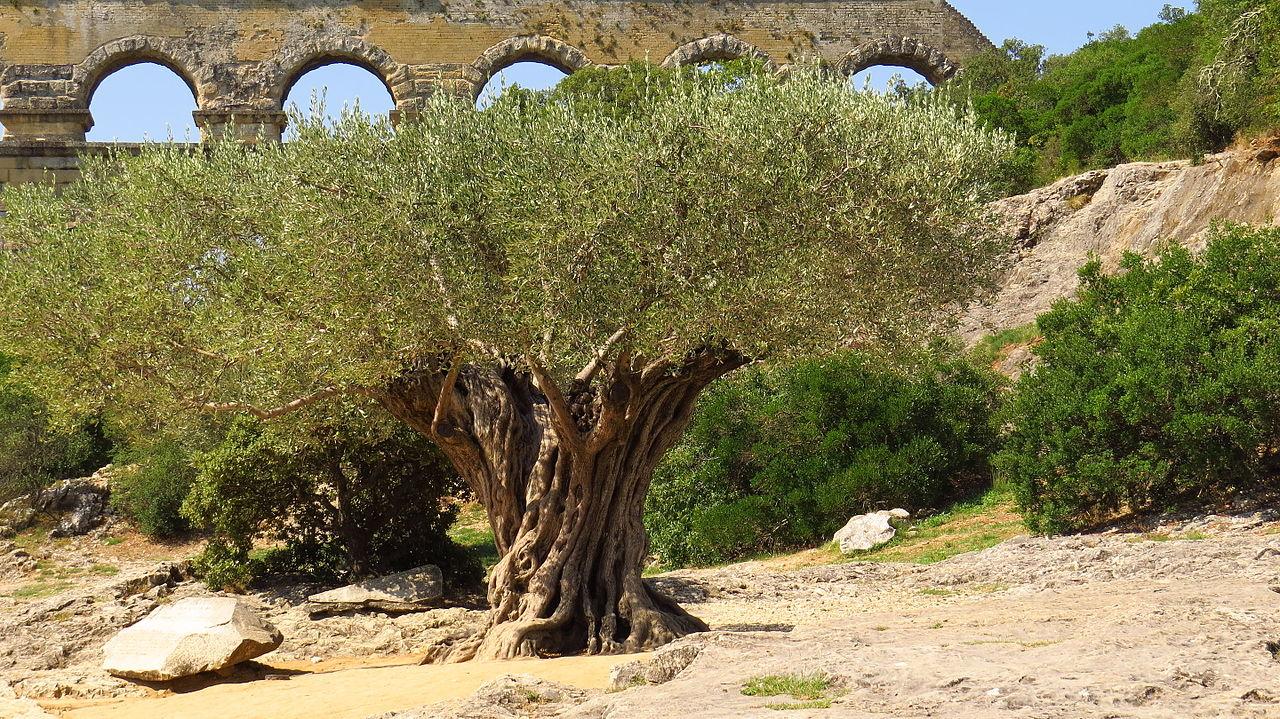 Olivier et garrigue au Pont du Gard