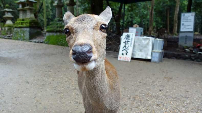 Nara Park, Japan - Parenthood and Passports