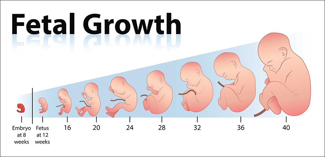 Estimating the fetal age