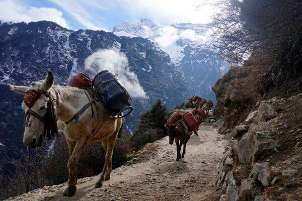 Mules carried empty gas cylinders on a path earlier this year near Namche Bazar, in the Everest region.