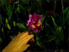 orchid_market_krabi_romana_granatova (30)