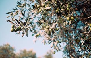 reprendre oliveraie