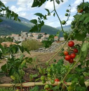 village tomates