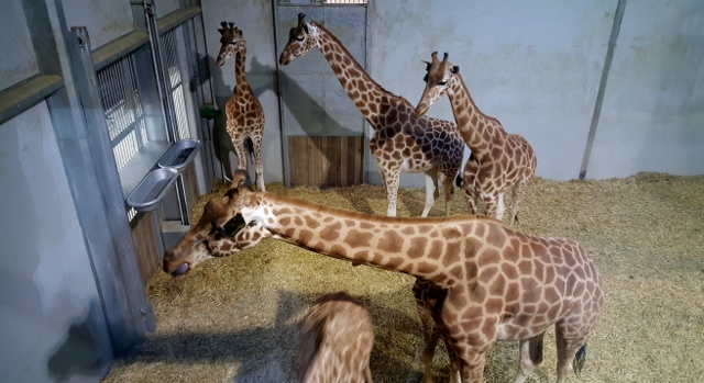 Petit déjeuner avec les girafes au Parc zoologique de Paris (11)
