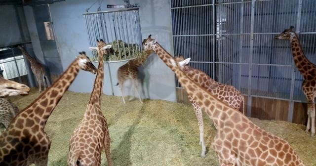 Petit déjeuner avec les girafes au Parc zoologique de Paris (12)