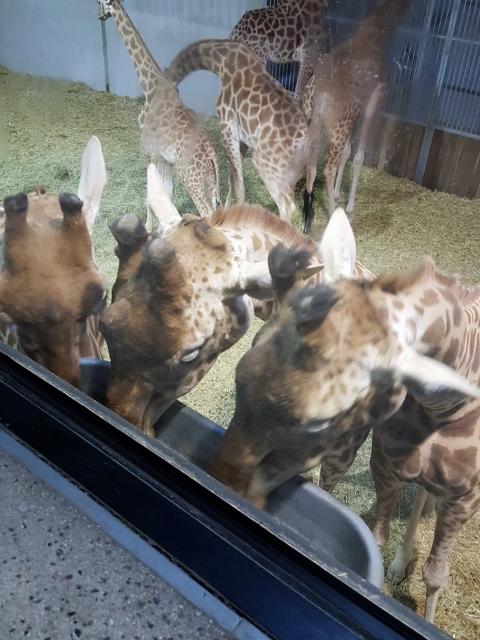 Petit déjeuner avec les girafes au Parc zoologique de Paris (3)