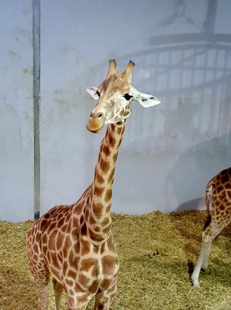 Petit déjeuner avec les girafes au Parc zoologique de Paris (4)