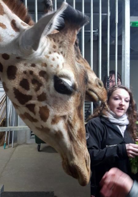 Petit déjeuner avec les girafes au Parc zoologique de Paris (7)