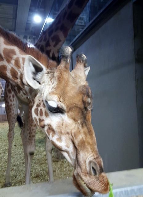 Petit déjeuner avec les girafes au Parc zoologique de Paris (8)