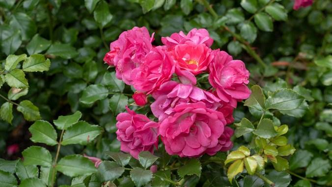 P1540709_pink_rose_1000