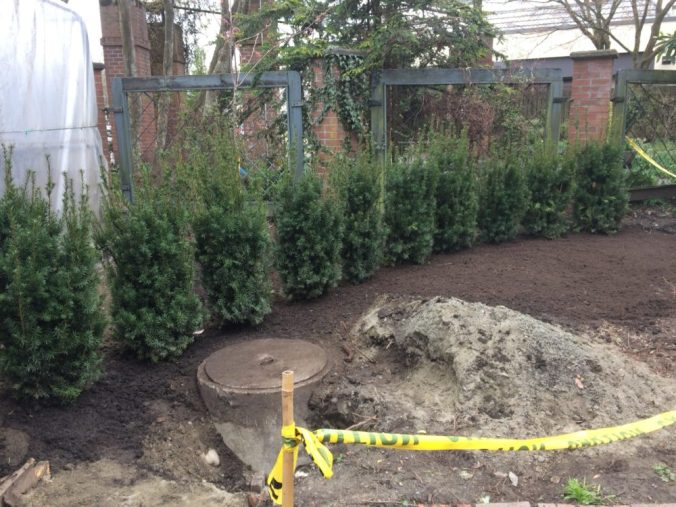 The new Yew Hedge is all planted