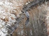 Graureiher im Mühlgraben