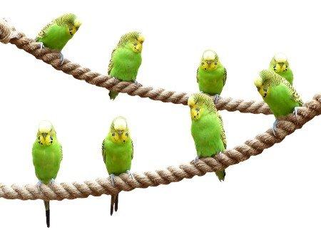 Grasparkieten leven in groepen