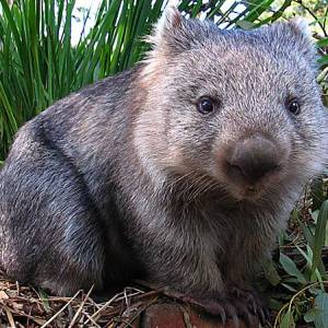 Is this a Wombat or not?