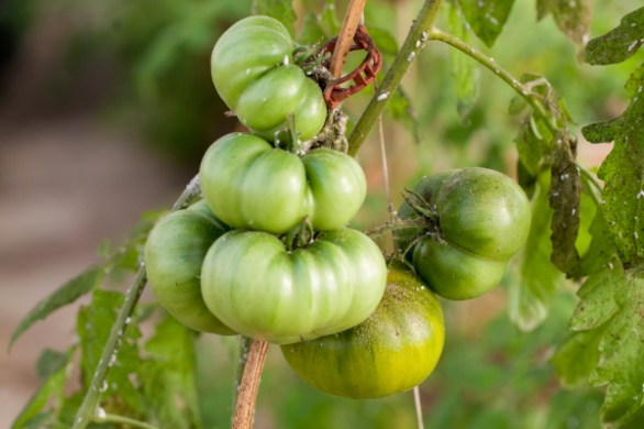 green_cherokee_heirloom_tomato(katiepark)_web