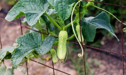 heirloom_cucumbers(katiepark)_web