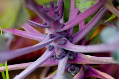 purple_brussel_sprouts(katiepark)_web