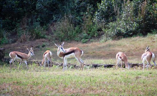 New Antelope Species, the Springbok, on Kilimanjaro Safaris Savanna at Disney's Animal Kingdom at Walt Disney World Resort