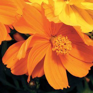 Orange Fall Wallpaper Cosmic Orange Cosmos Flower Seeds