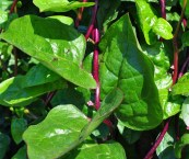 climbing spinach plant