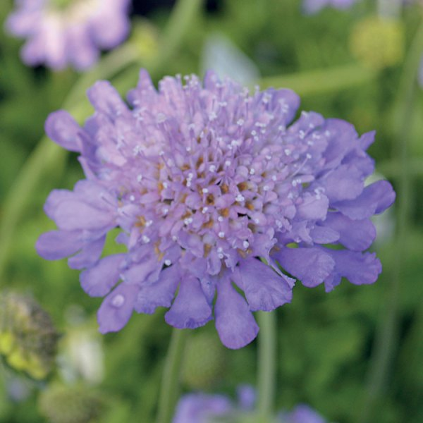 Butterfly Blue Pincushion Flower at Park Seed