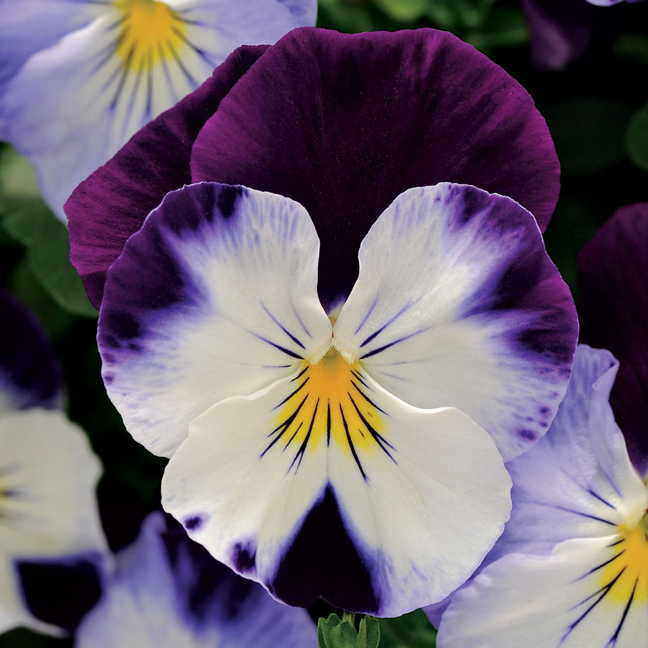 Vegetable Garden In Fall Wallpaper Cool Wave Violet Wing Pansy Seeds
