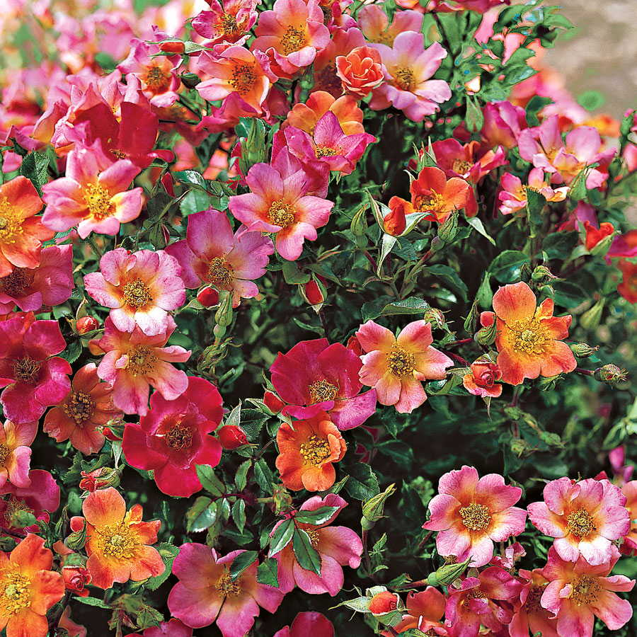 Happy Chappy Groundcover Rose From Park Seed