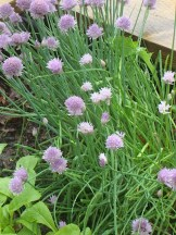 Chives with their pink blossoms