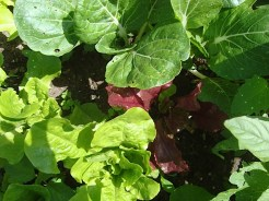 Many lettuce varieties