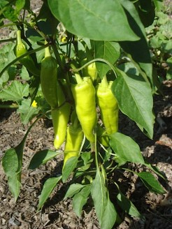 Yellow banana peppers almost ready for harvesting
