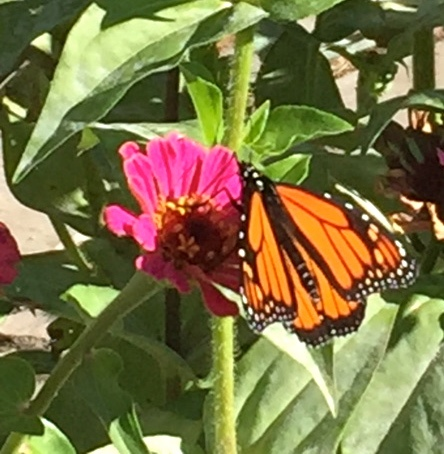 Maybe one of the last sightings of a monarch on our zinnias!