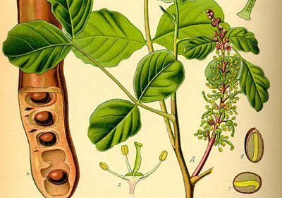 keciboynuzu-biyoloji