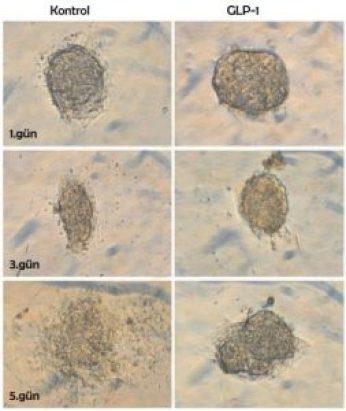 GLP-1 olmadan kültüre edilen pankreas adacıkları daha ilk günden organizasyonlarını kaybederler. 5. gün kontrol kültüründe adacıkların % 45'i 3 boyutlu yapılarını kaybetmişlerdir. Ortamda GLP-1 bulunduğunda ise 5. gün adacıkların sadece % 15'i 3 boyutlu yapılarını kaybeder.