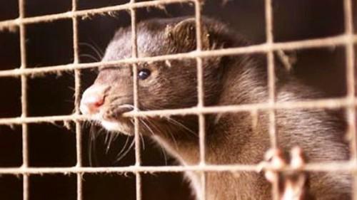 """Animali, M5S: """"Governo introduca divieto pellicce come in Olanda"""""""