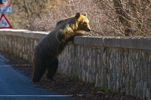 """""""Gli orsi confidenti sono maltrattati in Abruzzo"""""""