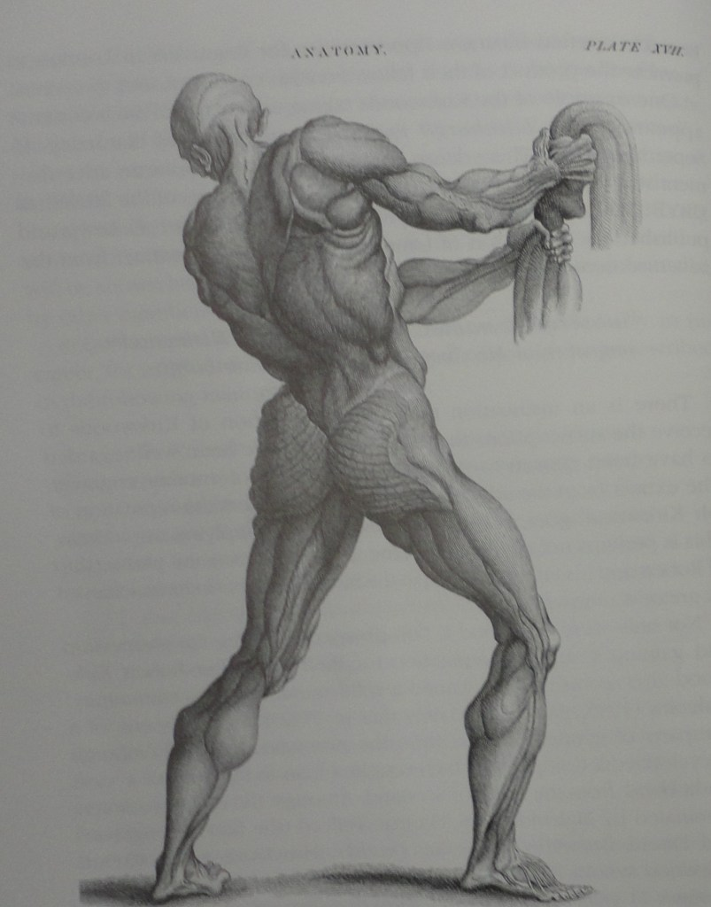 Anatomy of human muscles by Kirkwood and Son
