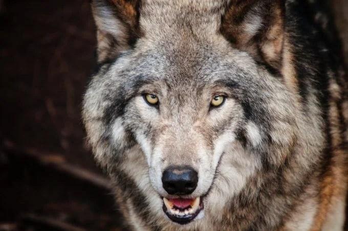 mâle alpha tel un loup